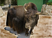 Yak Tibetan (Bos grunniens) — Stock Photo