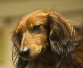 Brown dachshund, portrait — Stock Photo