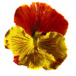 Yellow-orange pansy (Viola tricolor) - Stock Photo