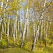 Autumn in birch forest - Stock Photo