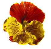 Yellow-orange pansy (Viola tricolor) — Stock Photo