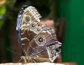 Farfalla caligula — Foto Stock