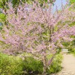 Stock Photo: Cercis Canadensis