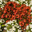 White and red begonia — Stock Photo