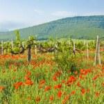 Постер, плакат: Vineyards hills and red poppies