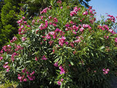 Pink oleander — Stock Photo