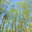 Birch forest on blue sky — Stock Photo