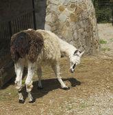 Lama Glama — Stok fotoğraf