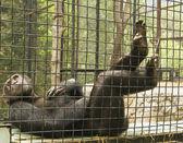 Scimpanzé di riposo — Foto Stock