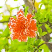 Fleur de grenade — Photo
