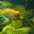 Fishes Cichlasoma citrinellum and Astronotus ocellatus — Stock Photo
