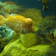 Stock Photo: Fishes Cichlasoma citrinellum and Astronotus ocellatus