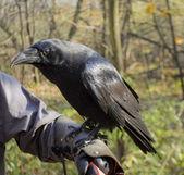 Raven on hand — Stock Photo