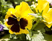 Pansy (viola tricolour) — Stock Photo