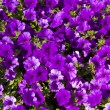 Purple petunia — Stock Photo #14450093