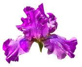 фиолетовый ирис — Стоковое фото