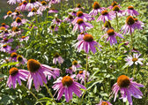 Purple rudbeckia (cone flower) — Stock Photo