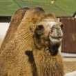 Stockfoto: Camel half body