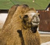 ラクダの半身 — ストック写真