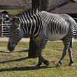 Zebra walking — Stock Photo