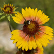Rudbeckia (cone flower) and bee — Stock Photo