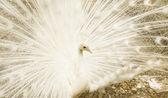 White peafowl — Stock Photo