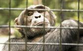 Chimpanzee in cage — Stock Photo