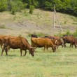Herd of cows on meadow — Stock Photo