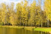 Golden birch forest — Stock Photo
