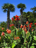 Red cannas and palms — Stock Photo