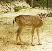 European fallow-deer — Stock Photo
