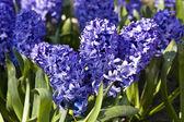 Blue hiacinth — Stock Photo