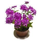 Purple astra in pot — Stock Photo
