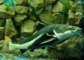Sheatfish Practocephalus — Stock Photo