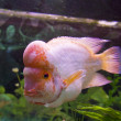 Fish Lemon Cichlid (Cichlasoma citrinellum) — Stock Photo