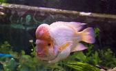 Fish Lemon Cichlid (Cichlasoma citrinellum) — Stock Photo