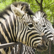 Two heads of zebra — Stock Photo