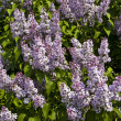 Purple lilas — Stock Photo