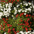 Red and white petunia — Stock Photo #16966205