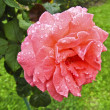 Pink rose with drops of water — Stock Photo