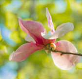 Magnolia — Stock Photo