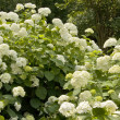 Stock Photo: White hydrangea