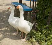 Dois gansos brancos — Foto Stock