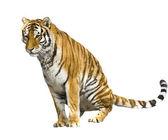 Tiger шыщдфеув — Stock Photo