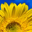 Half of yellow gerbera on blue sky — Stok fotoğraf