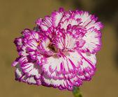 Karafiát růžové a bílé barvy — Stock fotografie