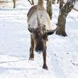 Deer with one horn — Stock Photo #21354039