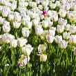 White tulips, vertical - Stock Photo