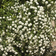 White spirea - Stock Photo