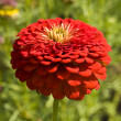 Red zinnia — Stock Photo #21406963